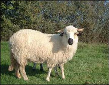 un mouton spécial